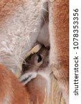 baby guanaco suckling  lama... | Shutterstock . vector #1078353356