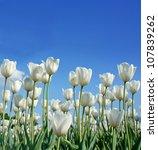 White Tulip  Botanical Name  ...