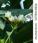 Small photo of Plumeria rubra is a deciduous plant, Apocynaceae family.