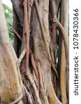 Small photo of The roots of eucalyptus in Sanya City