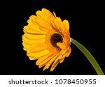 Single Helianthus Flower...