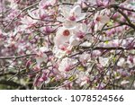 scruffy magnolia. shabby flower ...   Shutterstock . vector #1078524566