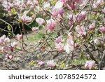 scruffy magnolia. shabby flower ...   Shutterstock . vector #1078524572