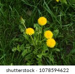 dandelions  taraxacum...