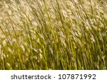 wild grass in bright sunset in the nature - stock photo