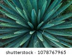 agave or maguey plant.  | Shutterstock . vector #1078767965