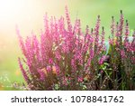 erica plant with beautiful...   Shutterstock . vector #1078841762