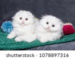 two cute white british kittens... | Shutterstock . vector #1078897316