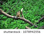 Small photo of A Troglodytes musculus bird perched on the branch of a tranquil tree