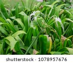 Small photo of Beautiful single White beach spider lily flower (Angiosperms: Monocots: Asparagales: Amaryllidaceae: Amaryllidoideae: Hymenocallis littoralis) isolated with green grass and soft background