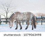 Norwegian Fjord Horse In The...