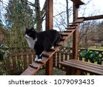 Stock photo black and white cat going downstairs in cat enclosure aka catio cat patio it keeps your cat 1079093435