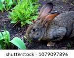 the flemish giant rabbit is a...   Shutterstock . vector #1079097896