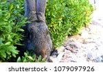 the flemish giant rabbit is a...   Shutterstock . vector #1079097926