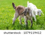 couple of baby goat kids on the ... | Shutterstock . vector #1079119412