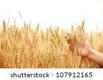 Ripe Golden Wheat In Hand