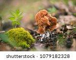 discina fastigiata. inedible... | Shutterstock . vector #1079182328