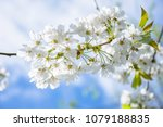 springtime blossom twig with...   Shutterstock . vector #1079188835