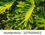exotic subtropical palm trees... | Shutterstock . vector #1079200412
