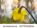 daffodils blossom on forest... | Shutterstock . vector #1079206826