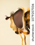 Small photo of Hover Fly, Flower Flies, Syrphid Flies, Hoverflies, Diptera, Syrphidae