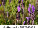 bees looking for food and... | Shutterstock . vector #1079241695