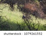 Small photo of Shiloh Ranch Regional Park, California - The wild turkey (Meleagris gallopavo) is an upland ground bird native to North America and is the heaviest member of the diverse Galliformes.