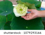 white water lily flower with... | Shutterstock . vector #1079293166