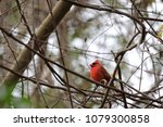 bright red northern male... | Shutterstock . vector #1079300858