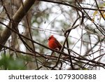 bright red northern male... | Shutterstock . vector #1079300888