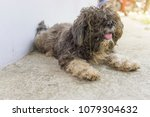 the dog was neglected clean | Shutterstock . vector #1079304632