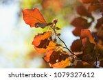 beech tree  spring beech leaf... | Shutterstock . vector #1079327612