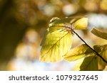 beech tree  spring beech leaf... | Shutterstock . vector #1079327645