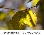beech tree  spring beech leaf... | Shutterstock . vector #1079327648