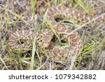 Pacific Gopher Snake  Pituophi...