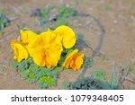 yellow pansy flower | Shutterstock . vector #1079348405