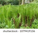 onoclea sensibilis  the...   Shutterstock . vector #1079419136