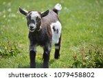 Little Goat Running Around In...