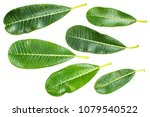 close up of plumeria or... | Shutterstock . vector #1079540522