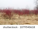 red cornus sericea flowering... | Shutterstock . vector #1079540618