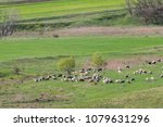sheeps and lambs on green... | Shutterstock . vector #1079631296