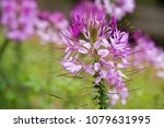 beautiful cleome spinosa or... | Shutterstock . vector #1079631995