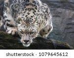an adult snow leopard... | Shutterstock . vector #1079645612