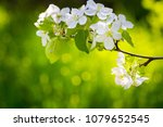 blooming apple branch at spring ... | Shutterstock . vector #1079652545