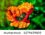 red poppy flower close up | Shutterstock . vector #1079659805