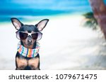 Stock photo dog in a bandana and glasses on the beach the concept of recreation i want to go on vacation 1079671475