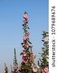 Small photo of Taiwan Alcea rosea