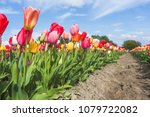 multicoloured tulip field and... | Shutterstock . vector #1079722082