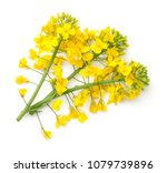 Stock photo rapeseed blossom isolated on white background brassica napus flowers top view 1079739896