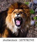 Stock photo beautiful mighty lion 1079782745